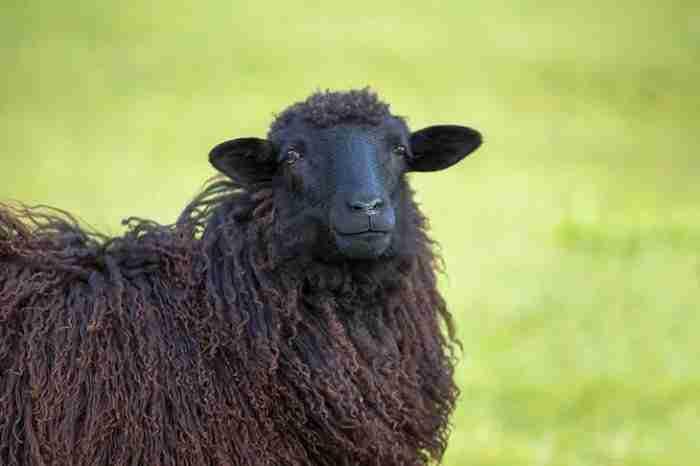 Ein schwarzes Schaf als Symbol für unseriöse Kreditangebote ohne SCHUFA